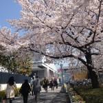 桜満開の両国
