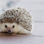 hedgehog-1215140_1920