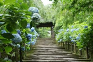 あじさい咲く古都・鎌倉をめぐる、隠れた梅雨の散歩道