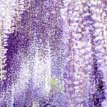 花盛りの湘南で「藤のカーテン」のお忍び名所を歩く