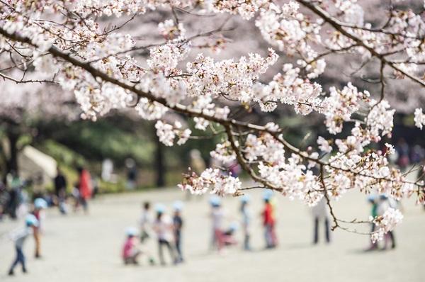 芹が谷公園の桜