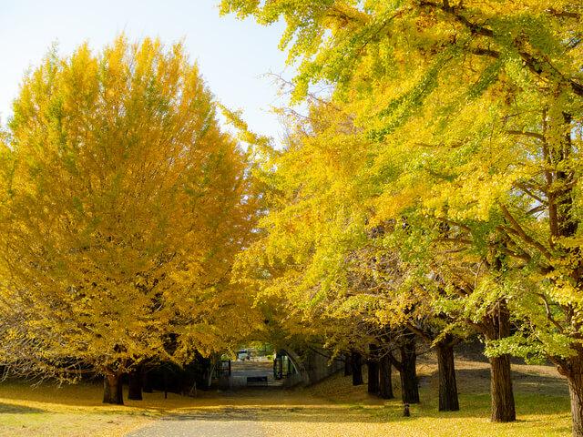 昭島のいちょう並木