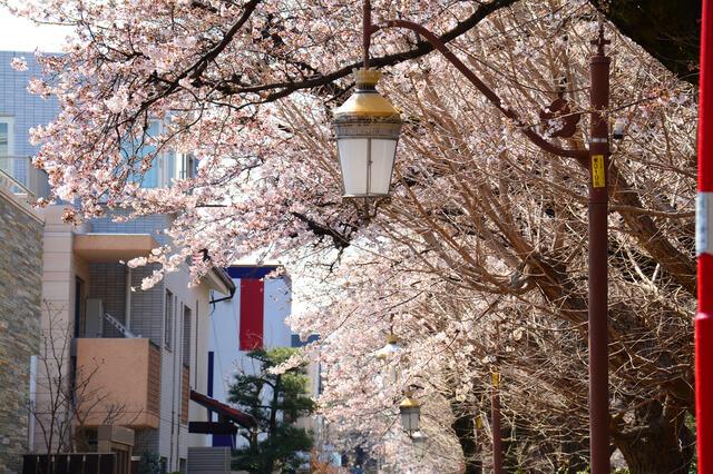 東京都国立市 国立駅前 大学通りの桜