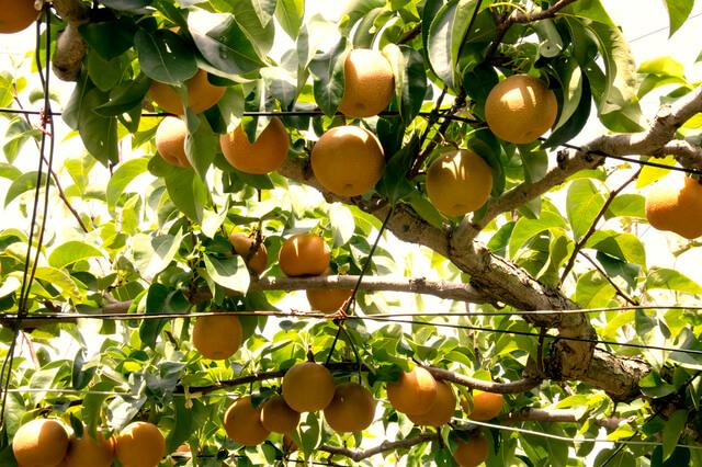 白井市の梨