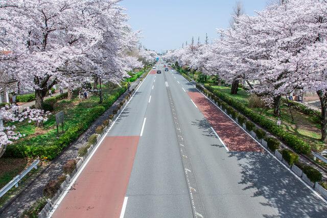 東京都国立市の風景 大学通り 桜並木 春
