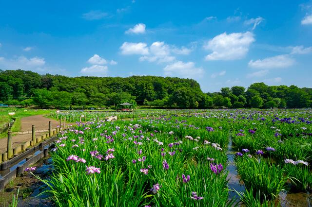 菖蒲咲くころの北山公園
