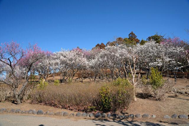 梅林のある、千葉県白井市、七次第一公園  画質確認